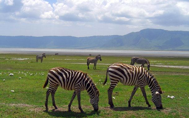 タンザニアの世界遺産「ンゴロンゴロ保全地域」のシマウマ