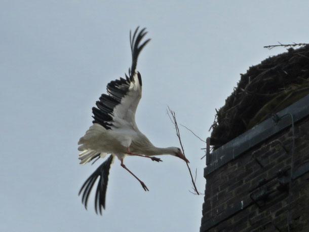 Storch mit Baumaterial beim Landeanflug am 11. März
