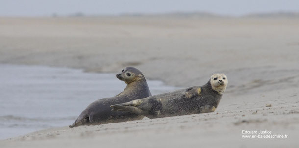 phoques baie de sommes sur banc de sable