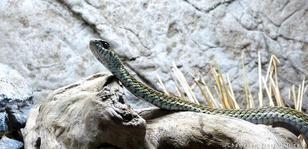 Snake south africa