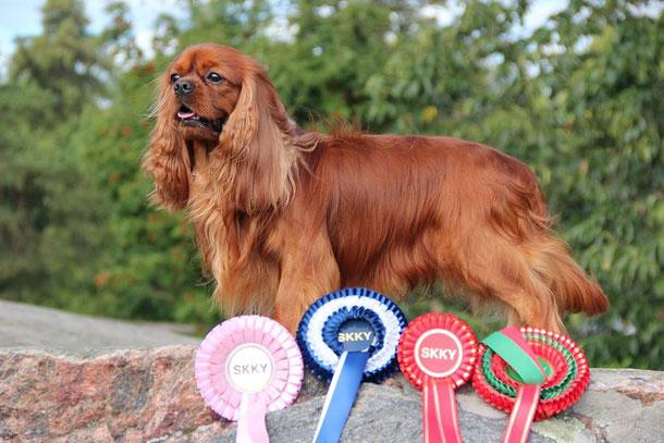 cavalier king Charles spaniel , kennel Evidence Love , питомник кавалер кинг Чарльз спаниелей в Санкт-Петербурге , купить щенка кавалера