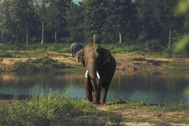 Ein wilder Elefant in der Kambodschanischen Provinz Pursat am Ufer des Tonle Sap Sees