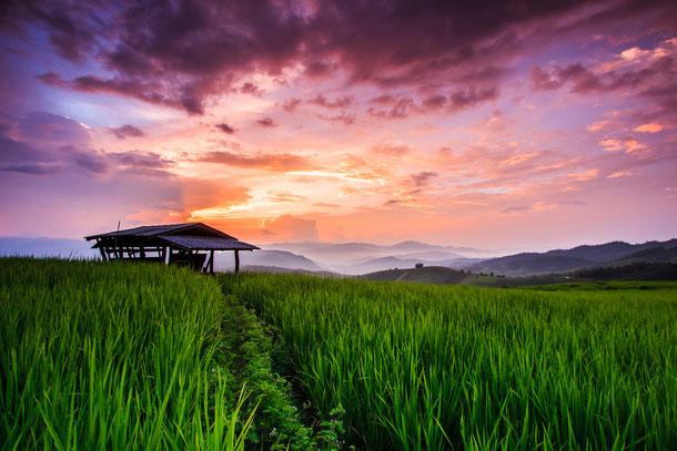 Ein Reisfeld in der Provinz Prey Veng
