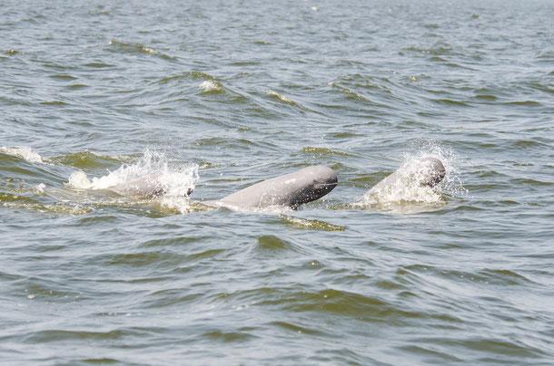 Bei Kampi in der Provinz Kratie ist eine Begegnung mit den vom Aussterben bedrohten Irrawaddy-Delfinen garantiert.