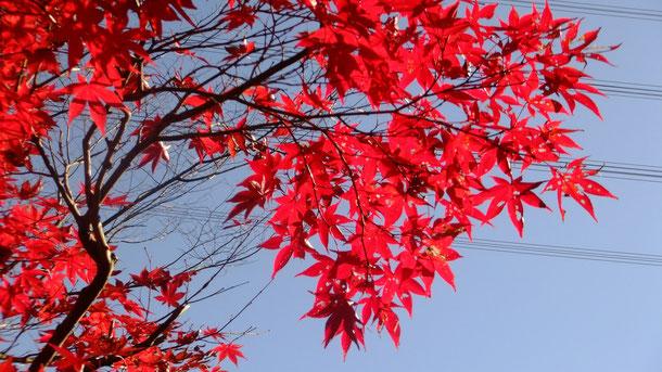 真っ赤な紅葉に思わずシャッターをパチリ