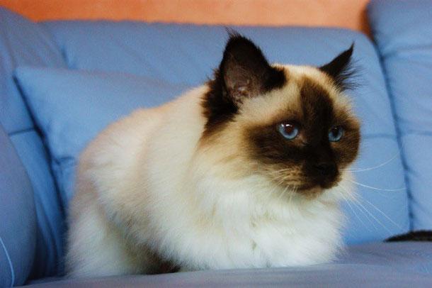 Katze, Heilige Birma