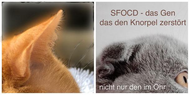 SFOCD - Scottish Fold Osteochondrodysplasie - das Gen, das den Knorpel zerstört, Foto: Birgitta