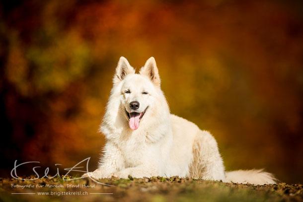 Leal, Weisser Schweizer Schäferhund / Verhaltensberatung