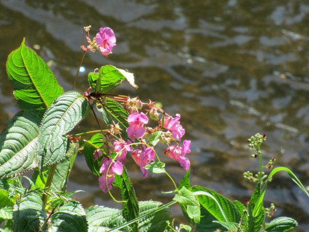 ウェールズ アスク川、クリックハウエル橋たもとに咲くインパチエンス