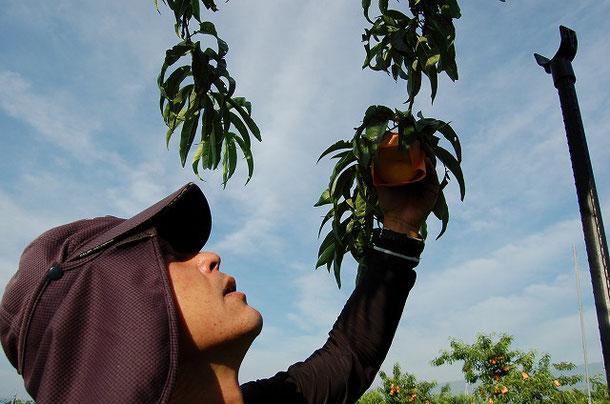 一つ一つ、桃の成熟具合を確かめながら収穫をする生産者の難波さん