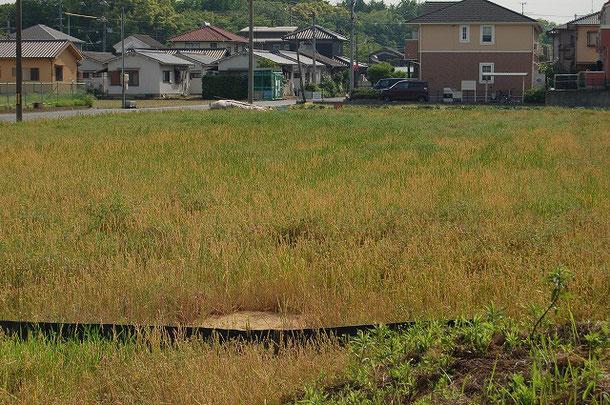 モデル圃場ではまだ耕起していません。じっくり、ゆっくり。今年はレンゲはほとんど出ず、イネ科の草が多い模様。