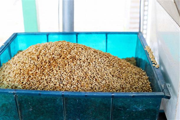 採り繋いでいる「朝日」の籾ダネ