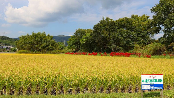 自然栽培の認定ほ場 奥に見える赤いものはヒガンバナ 除草剤を撒けば見られない光景