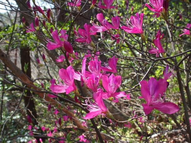 この花の魅力を写し撮るのは難しい。小生の思い(感動)が表現出来ていません。