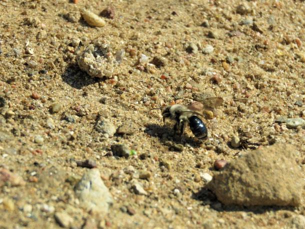 Weiden-Sandbiene (Andrena vaga)