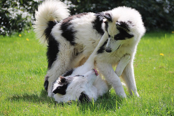 Ein großer schwarz weißer Hund dominiert gegenüber einen anderen Hund auf einer Wiese