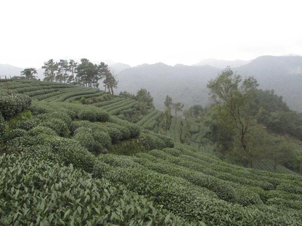 Jardin de thé - Long-Jin