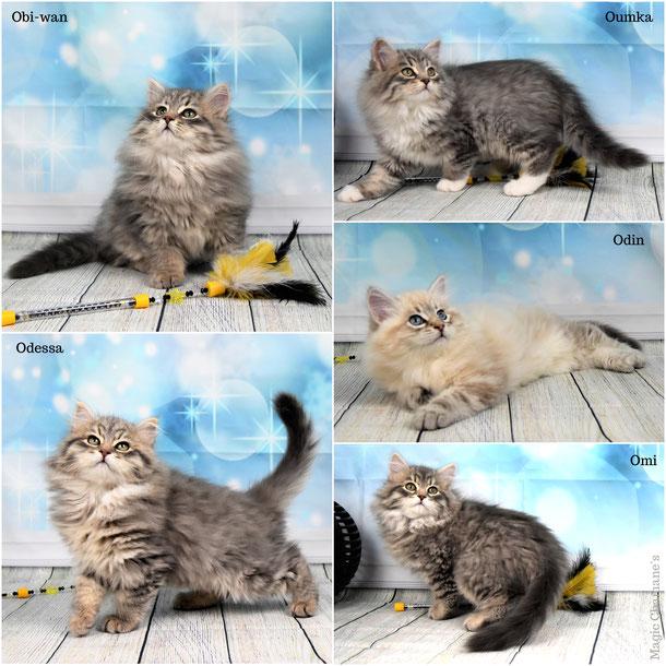 chatons sibérien