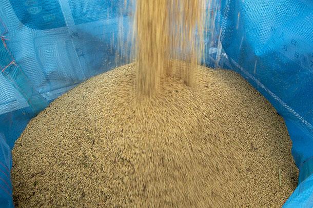 黄金の粒がたまっていく。今年、「望地河原」の酒の味はどんな風になるのかな?