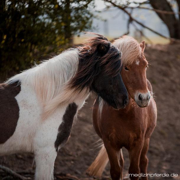 Fellwechsel Pferd, Tipps, gesundes Pferd, gesund füttern, fit durch den Fellwechsel, Pferdefütterung, Gesundheit, islandpferde