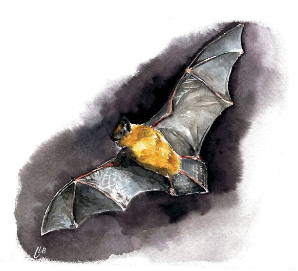 aquarelle chauve-souris naturaliste