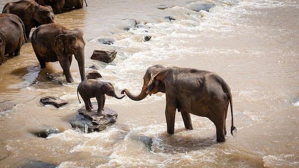 Слониха со слоненком переходят реку