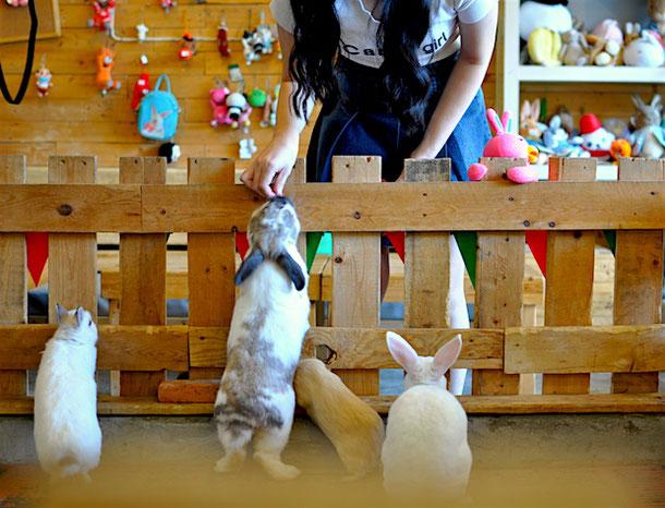 Feeding rabbits in rabbit cafe in bangkok