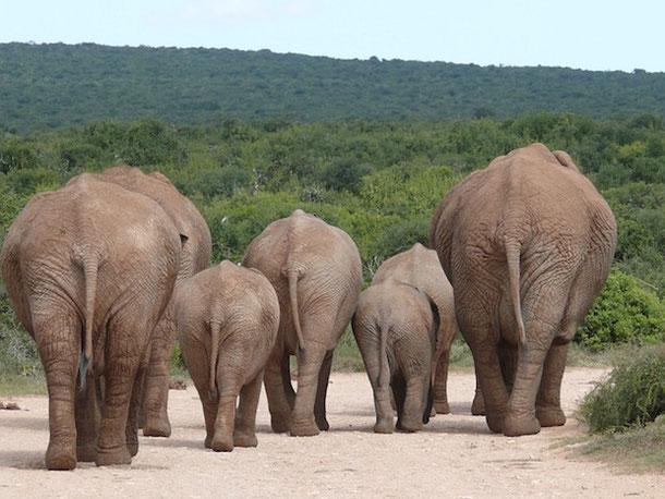 Стадо слонов на воле
