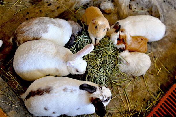 в кроличьем кафе хорошо заботятся о кроликах и морских свинках