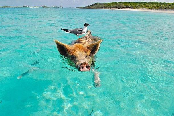 Плавающая свинка на Багамах