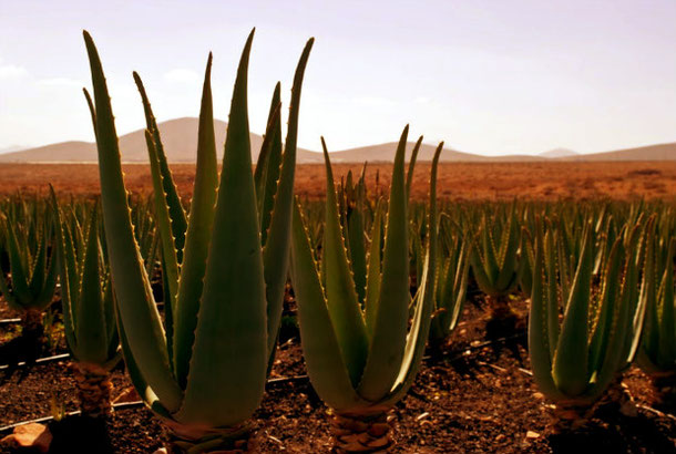 Aloe vera plantation canary islands