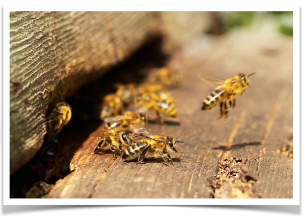 PURGERS Bienen