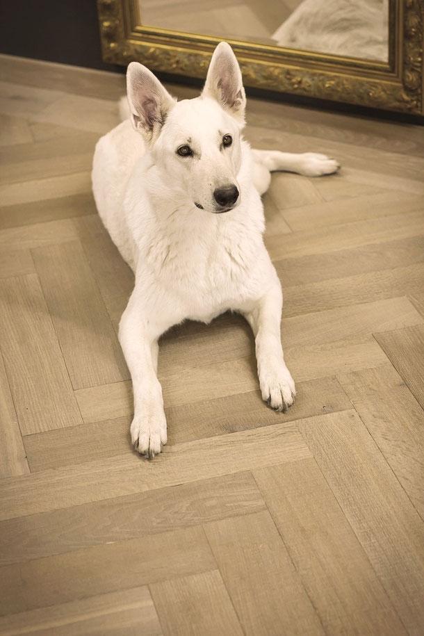Unser weißer Schäferhund im Ausstellungsraum. Fischgrät Parkett sägerau