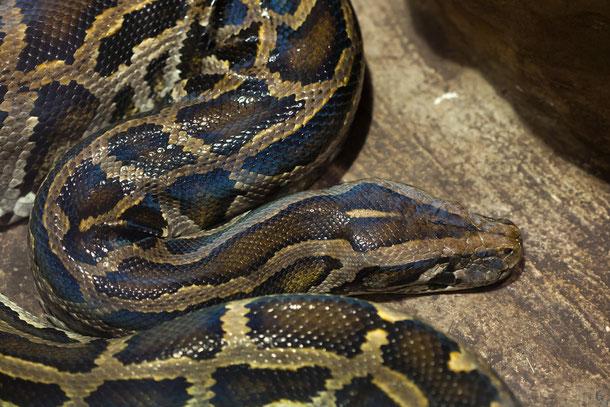Dunkler Tigerpython - Schlangen in Thailand