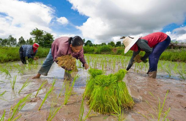 Auf dem Reisfeld mitarbeiten
