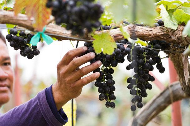Weinanbaugebiete in Thailand