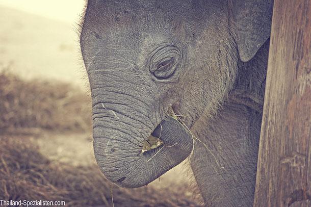 Baby-Elefant, FAE's Elephant Hospital, Lampang