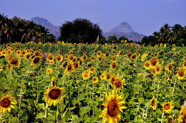 Sonnenblumenfeld in Lop Buri, Thailand