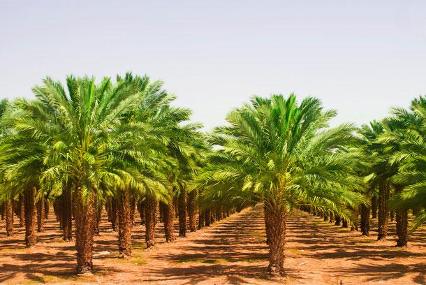 Palmölanbau in Thailand