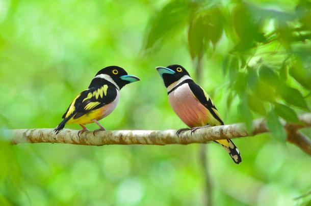 Vogelarten in Thailand