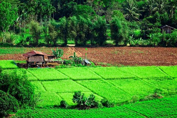 Reisfelder bei Tak