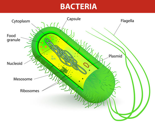 Cholera-Vibrionen