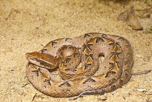 Malayische Mokassinotter - die giftigste Schlange Thailands