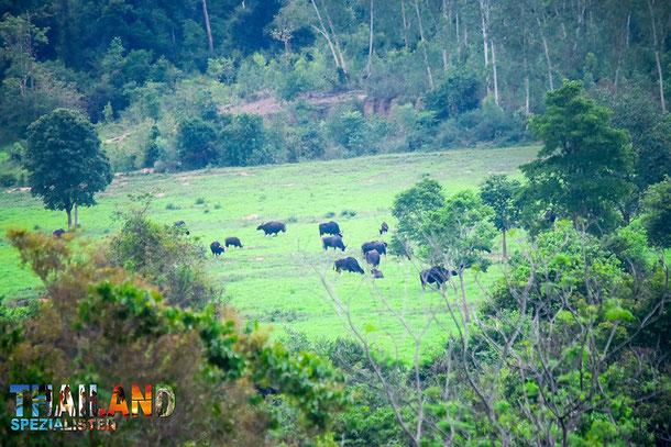 Gaur im Kui Buri-Nationalpark
