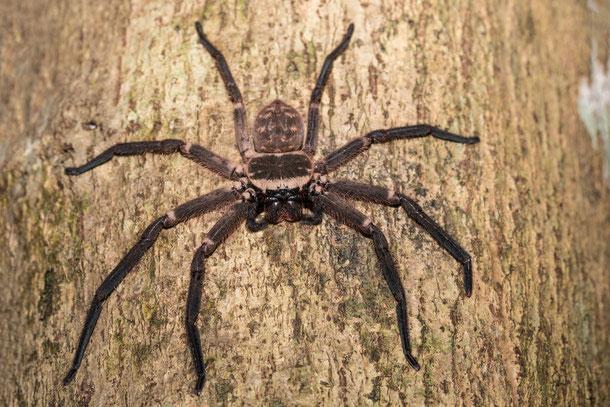 Riesenkrabbenspinne in Thailand