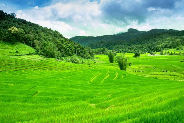 Reisfeld Chiang Mai