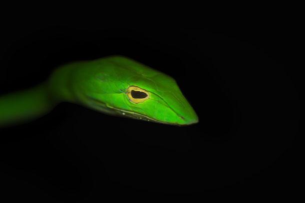 Grüne Peitschennatter in Thailand