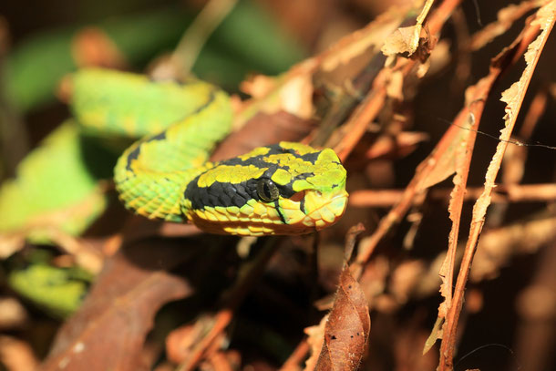 Weißlippen-Bambusotter - gifttige Schlange in Thailand