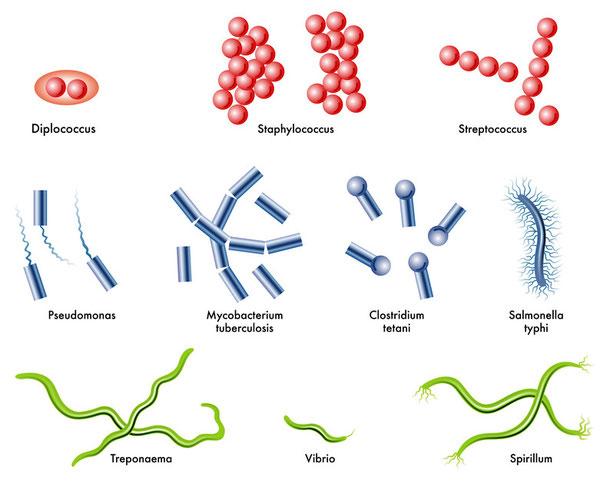 Typhus - Erreger ist Salmonella Typhi