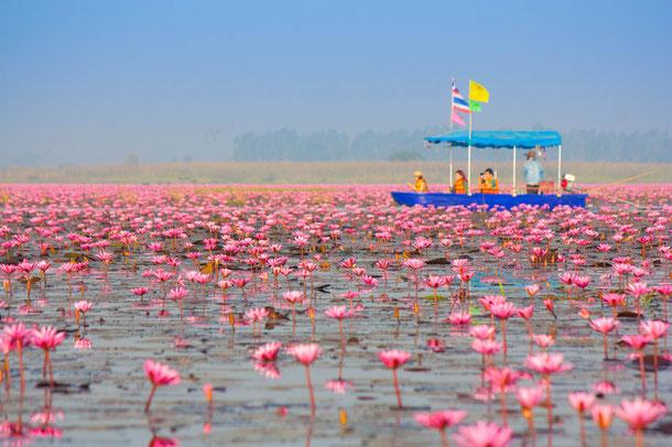 Lotusblüten - Kumphawapi, Udon Thani